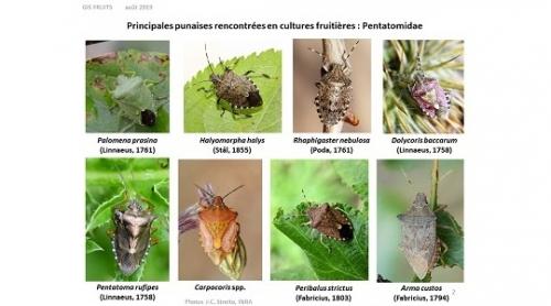 Punaise diabolique et autres punaises en arboriculture : comment les reconnaître ?