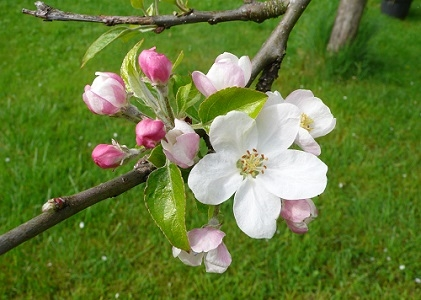 Testez un prototype de prévision de la date de floraison du pommier